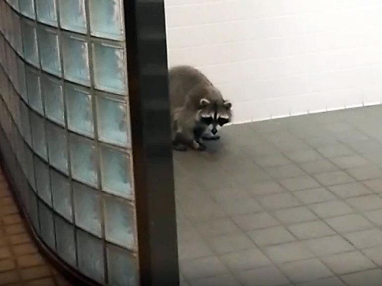 道の駅のトイレにいるアライグマ