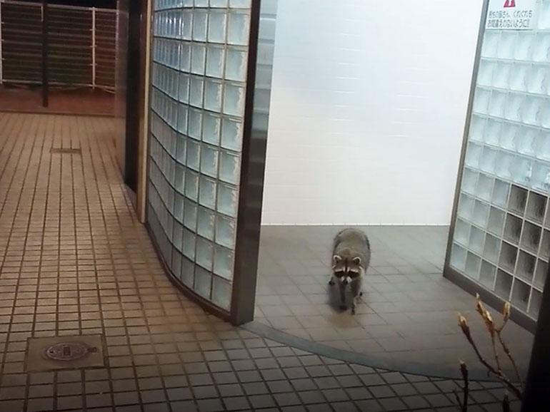 道の駅のトイレにいるアライグマ2