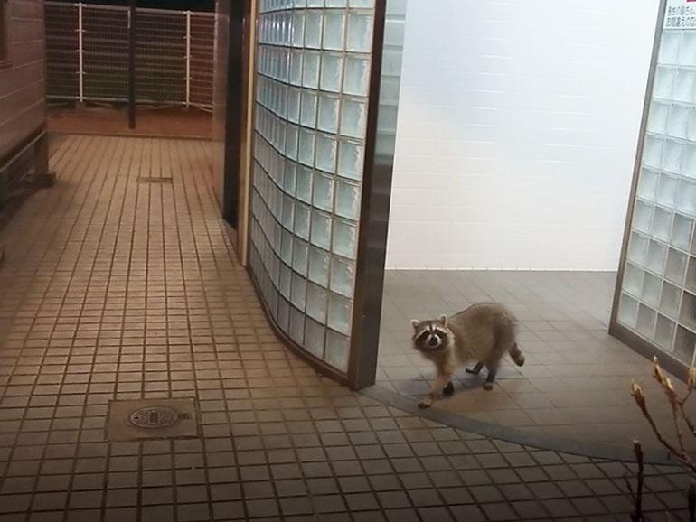 道の駅のトイレから出てくるアライグマ