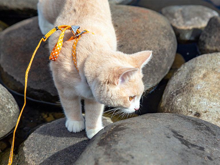 リードゲージをつける猫