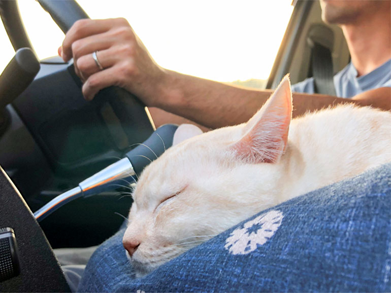 助手席で寝る猫