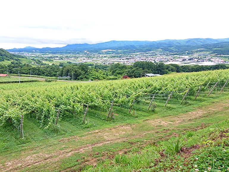 NIKI Hills Winery(仁木ヒルズワイナリー)葡萄畑