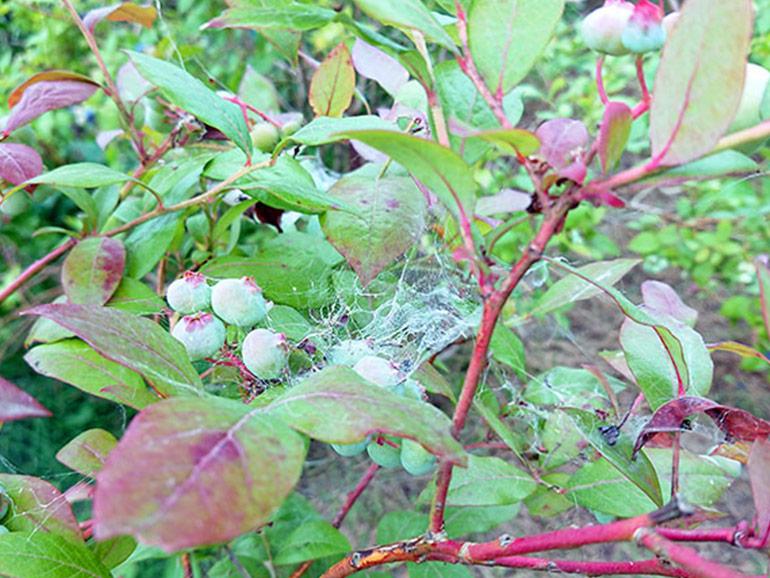 蜘蛛の巣が張ったブルーベリー