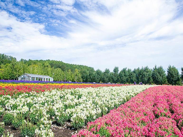 美瑛・富良野の花畑