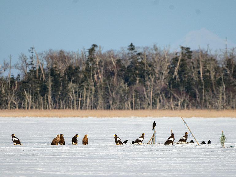 凍った風蓮湖に群がるオオワシやオジロワシ