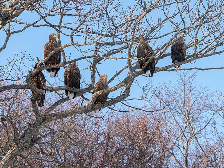 木々の枝で休むオジロワシ