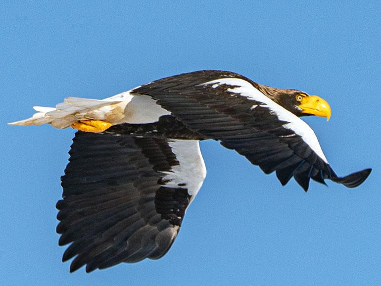 飛行するオオワシ