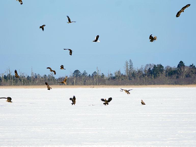 風蓮湖の上を乱舞するオジロワシやオオワシ