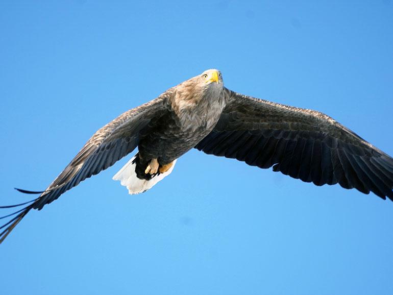 飛行するオジロワシ